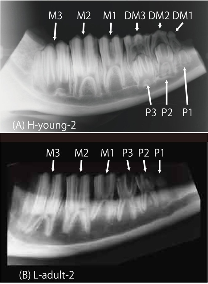 Figure 4- Dental radiographs of mandibular bones from young and adult cattle, srep24077-f4