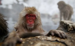 <Pic 1> Japanese monkey_animals-263x164